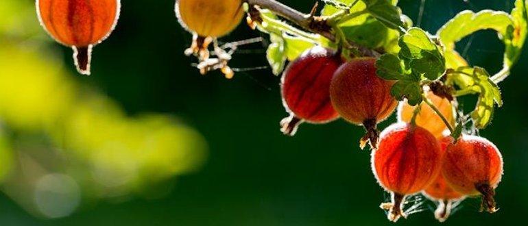 Крыжовник: посадка и выращивание
