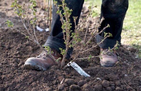 Крыжовник: посадка и выращивание, подкормка весной