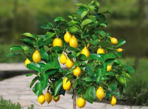 Выращивание лимона из косточки