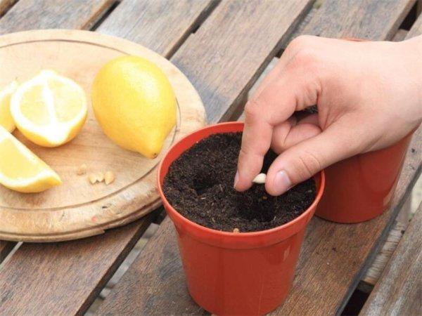 Как посадить косточку лимона