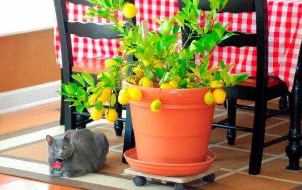 Лимон из косточки в домашних условиях