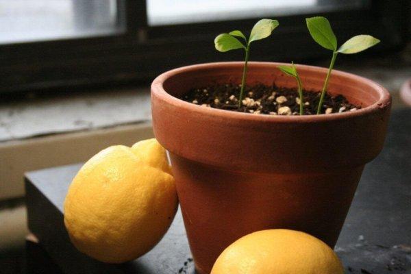 Лимон из косточки в горшке