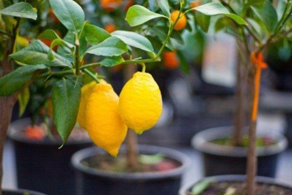 Удобрения для комнатного лимона