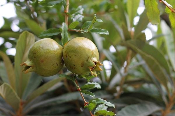 Зеленые плоды на дереве