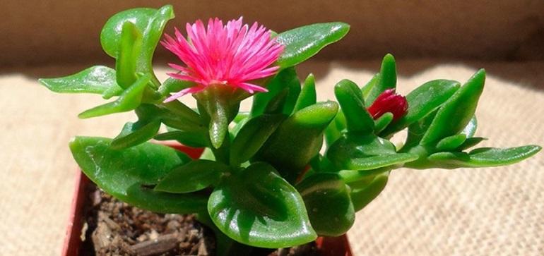 Аптения уход в домашних условиях, фото, размножение цветка, виды