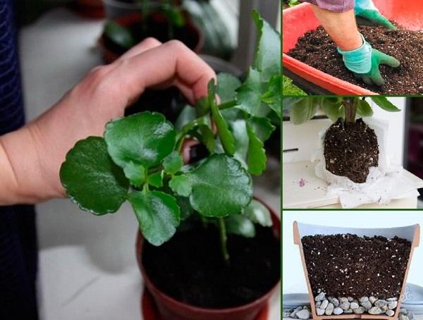 Размножение каланхоэ в домашних условиях, как размножить растение черенками и листом
